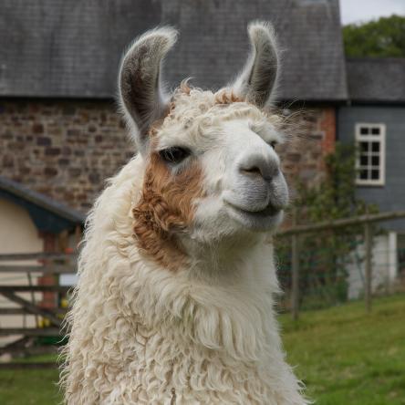 gelding llama for sale