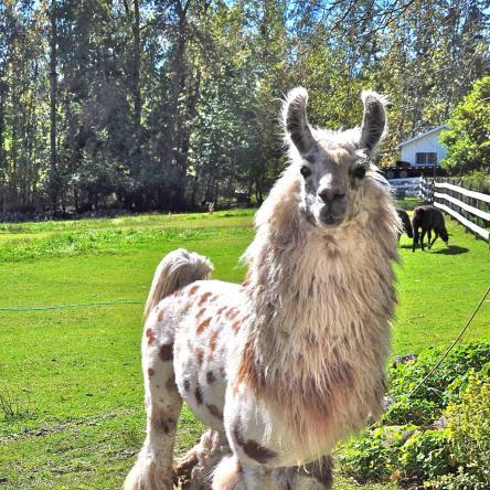 appaloosa stud llama
