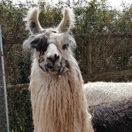 suri argentine llama