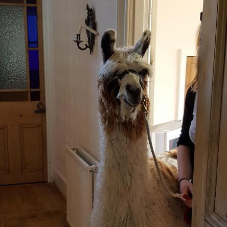 llama suri