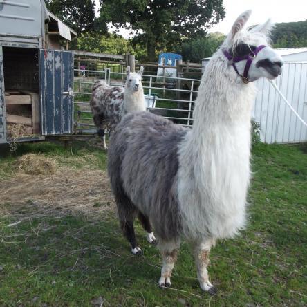 training llamas