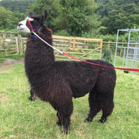llama stallion