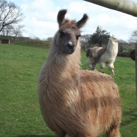 llama herd sire