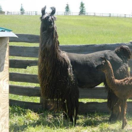suri llama and cria