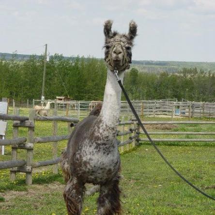 Canadian llama