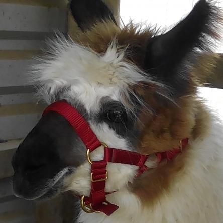 female llama halter-training