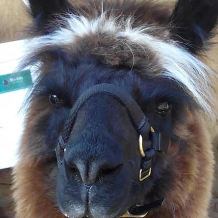 halter-trained llama