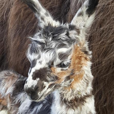 appaloosa llama cria