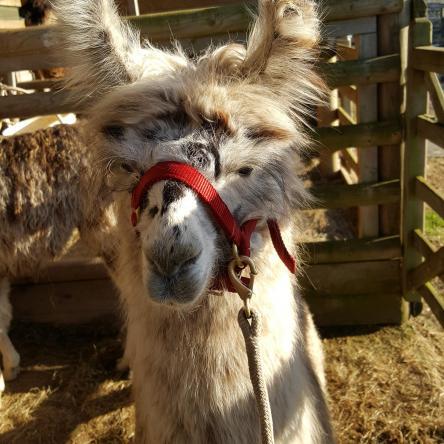 llama trekker