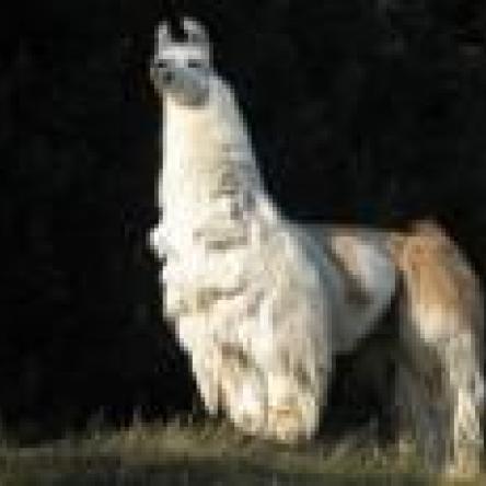 stallion llama