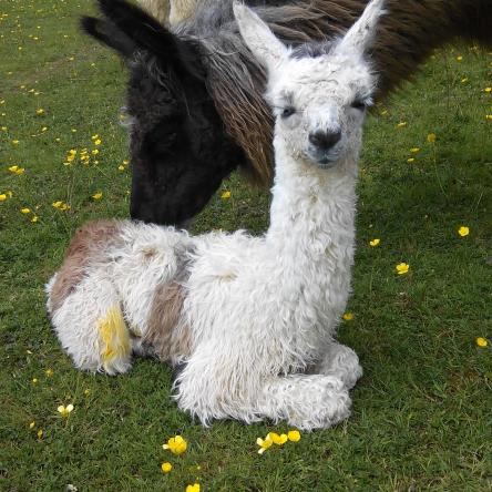 new born cria