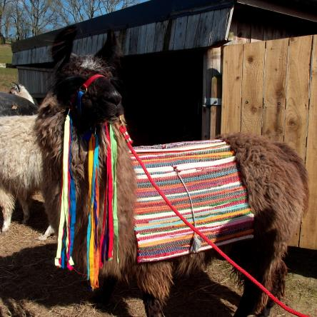 llama with pack