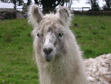 woolly llama