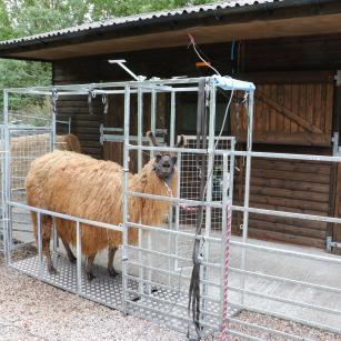 Llama chute for shearing