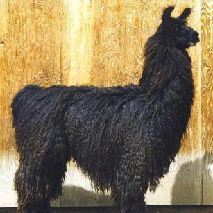 argentine llama